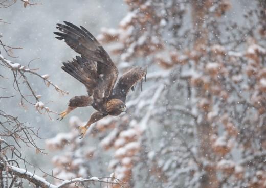 A flying golden eagle