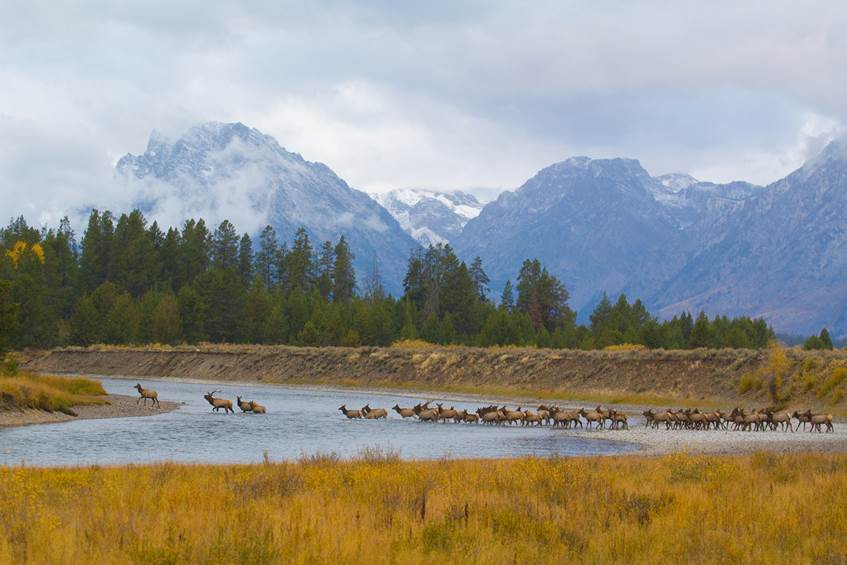 Elk herd crossing Snake river