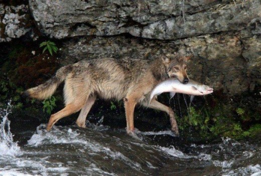 Wolf Catching a Salmon