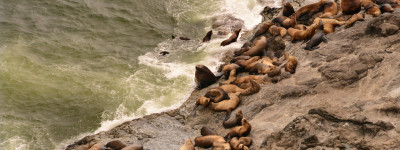Stellar Sea Lions on the Oregon Coast Courtesy of Oregon Department of Fish and Wildlife